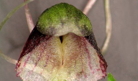 A close up photo of a hooded flower