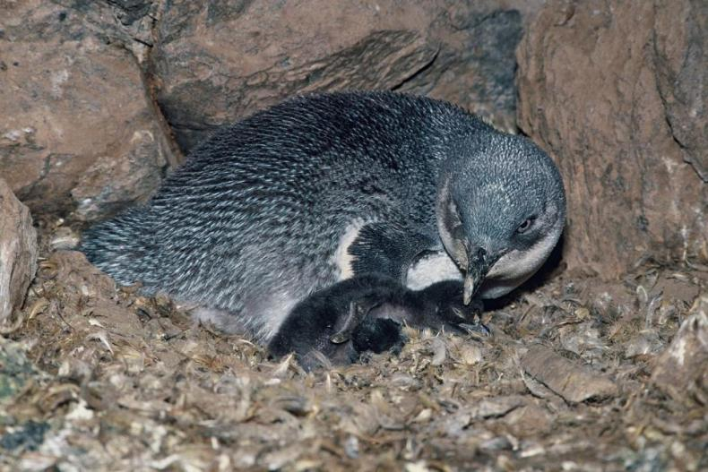 A blue and white penguin and penguin chick sitting close against a rock with feathers and leaves in the foreground