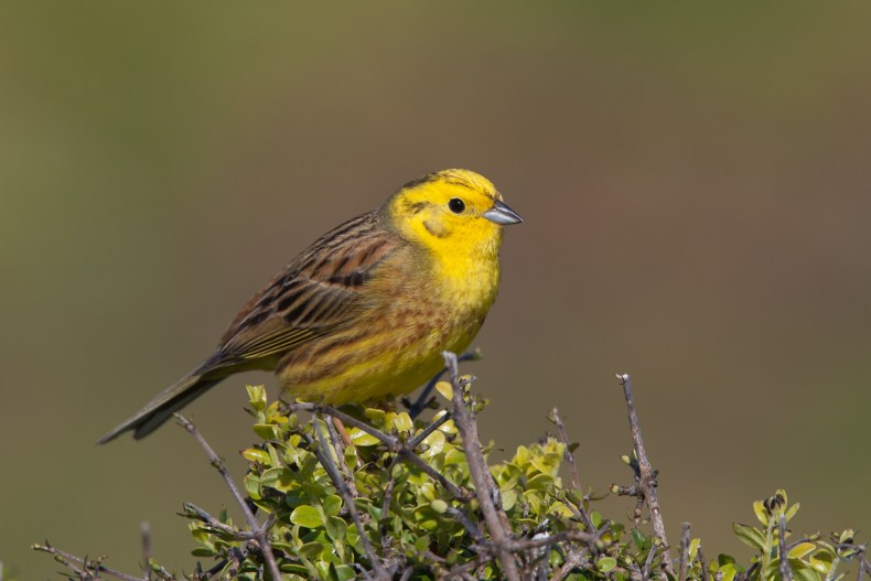 A yellow-headed bird sitting on top of a small-leafed bush.