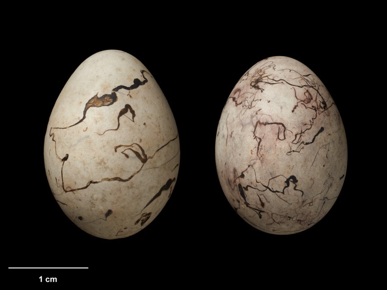 Two pale eggs on a black background. They both have dark purple scribbles on them.
