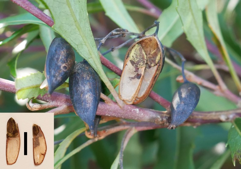A close-up view of seedpods on a branch