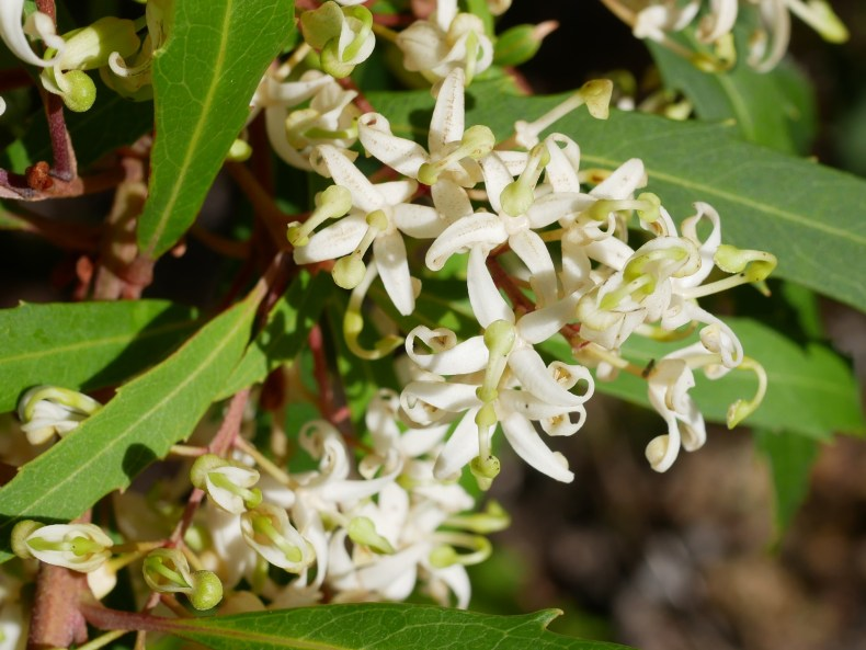 A close-up of white flowers on a spiky-leaved tree