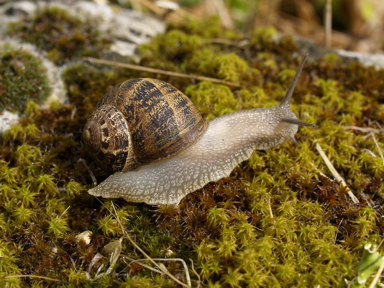 A garden snail on a green mossy surface