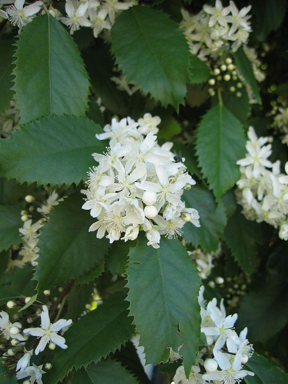 Clumps of white flowers on a bush that has big leaves with jagged edges.
