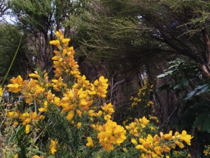 Yellow flowers on a prickly shrub, with large trees in the background.